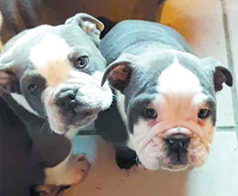 APPROVED & AUTHORIZED OLD ENGLISH BULLDOG PUPS