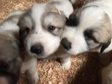 GREAT PYRENEES X ANATOLIAN RANCH GUARDIAN PUPS