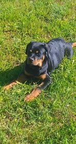BEAUTIFUL ROTTWEILER FEMALE PUPPY